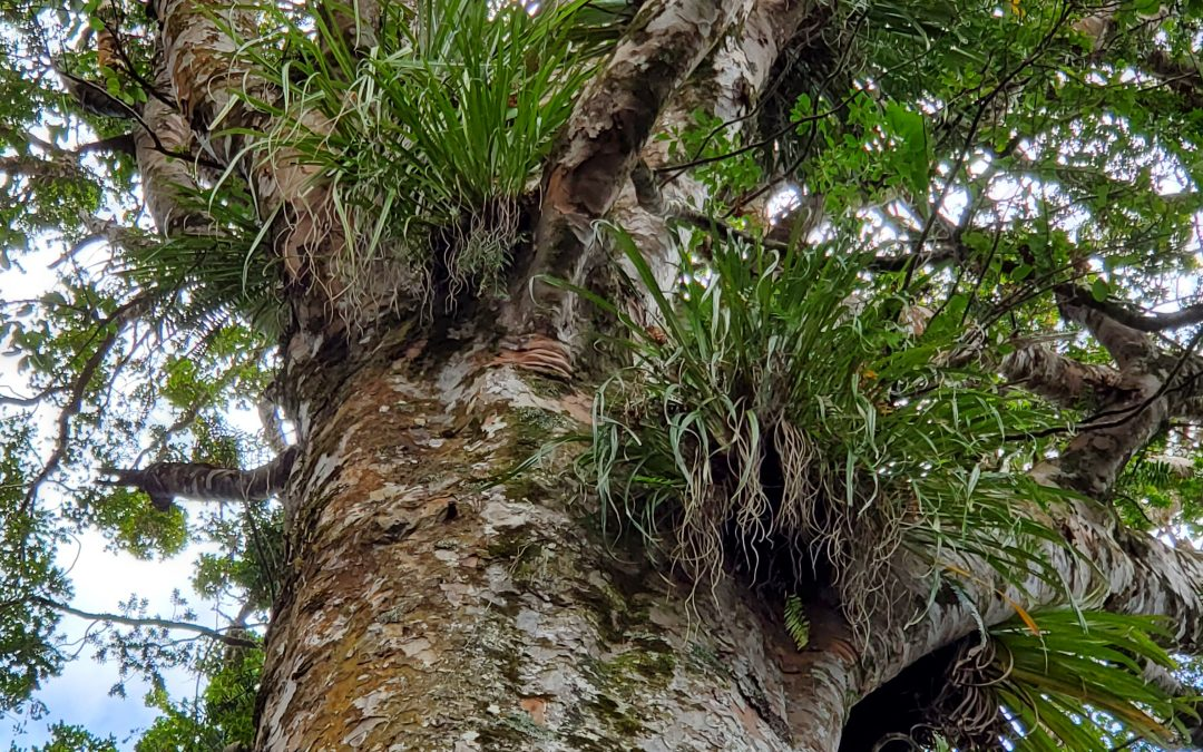 Hanging out with Kauri Trees